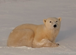 polar-bear-903-cape-churchill-copyright-photographers-on-safari-com