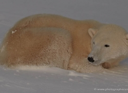 polar-bear-904-cape-churchill-copyright-photographers-on-safari-com