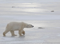 polar-bear-906-cape-churchill-copyright-photographers-on-safari-com