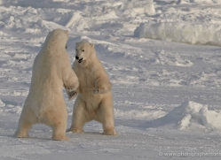 polar-bear-907-cape-churchill-copyright-photographers-on-safari-com