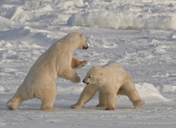 polar-bear-908-cape-churchill-copyright-photographers-on-safari-com