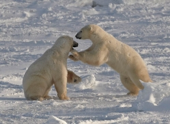 polar-bear-909-cape-churchill-copyright-photographers-on-safari-com