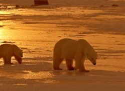 polar-bear-915-cape-churchill-copyright-photographers-on-safari-com