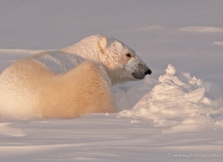 polar-bear-918-cape-churchill-copyright-photographers-on-safari-com
