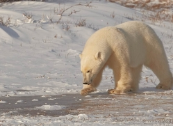 polar-bear-919-cape-churchill-copyright-photographers-on-safari-com