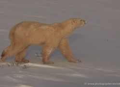 polar-bear-920-cape-churchill-copyright-photographers-on-safari-com