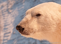 polar-bear-921-cape-churchill-copyright-photographers-on-safari-com