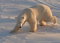 polar-bear-922-cape-churchill-copyright-photographers-on-safari-com