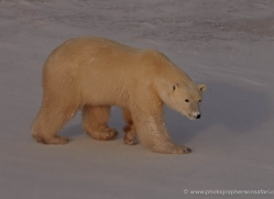 polar-bear-924-cape-churchill-copyright-photographers-on-safari-com