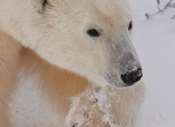 polar-bear-928-cape-churchill-copyright-photographers-on-safari-com
