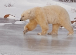 polar-bear-930-cape-churchill-copyright-photographers-on-safari-com