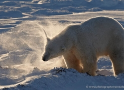 polar-bear-931-cape-churchill-copyright-photographers-on-safari-com