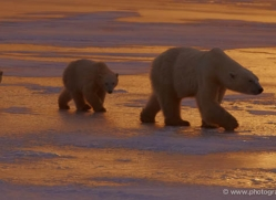polar-bear-933-cape-churchill-copyright-photographers-on-safari-com