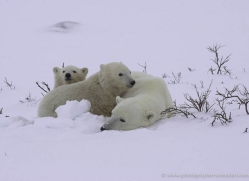 polar-bear-936-cape-churchill-copyright-photographers-on-safari-com