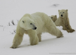 polar-bear-938-cape-churchill-copyright-photographers-on-safari-com