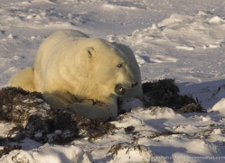 polar-bear-940-cape-churchill-copyright-photographers-on-safari-com
