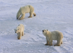 polar-bear-941-cape-churchill-copyright-photographers-on-safari-com