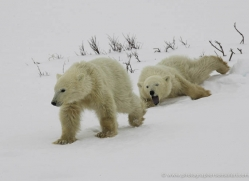 polar-bear-942-cape-churchill-copyright-photographers-on-safari-com