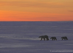 polar-bear-949-cape-churchill-copyright-photographers-on-safari-com