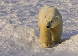 polar-bear-950-cape-churchill-copyright-photographers-on-safari-com
