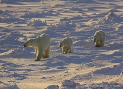 polar-bear-951-cape-churchill-copyright-photographers-on-safari-com