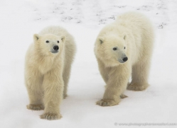 polar-bear-952-cape-churchill-copyright-photographers-on-safari-com