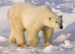 polar-bear-953-cape-churchill-copyright-photographers-on-safari-com