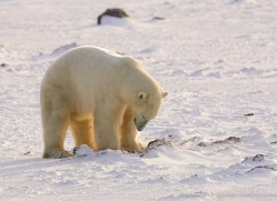 polar-bear-954-cape-churchill-copyright-photographers-on-safari-com