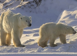 polar-bear-956-cape-churchill-copyright-photographers-on-safari-com