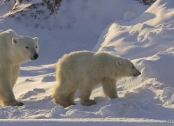 polar-bear-957-cape-churchill-copyright-photographers-on-safari-com