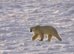 polar-bear-958-cape-churchill-copyright-photographers-on-safari-com