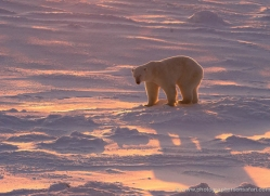 polar-bear-962-cape-churchill-copyright-photographers-on-safari-com