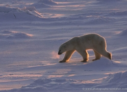 polar-bear-963-cape-churchill-copyright-photographers-on-safari-com