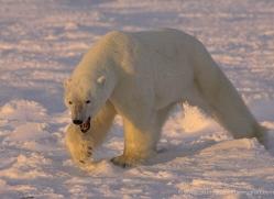 polar-bear-964-cape-churchill-copyright-photographers-on-safari-com