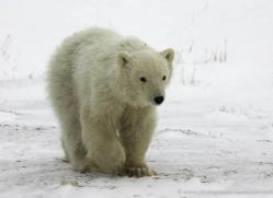 polar-bear-967-cape-churchill-copyright-photographers-on-safari-com