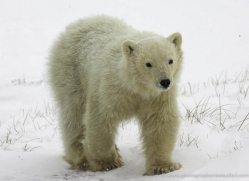 polar-bear-968-cape-churchill-copyright-photographers-on-safari-com