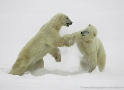 polar-bear-970-cape-churchill-copyright-photographers-on-safari-com