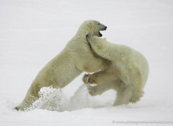 polar-bear-971-cape-churchill-copyright-photographers-on-safari-com