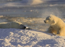 polar-bear-976-cape-churchill-copyright-photographers-on-safari-com