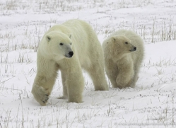 polar-bear-977-cape-churchill-copyright-photographers-on-safari-com