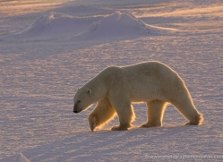 polar-bear-980-cape-churchill-copyright-photographers-on-safari-com