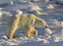 polar-bear-981-cape-churchill-copyright-photographers-on-safari-com