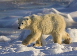 polar-bear-982-cape-churchill-copyright-photographers-on-safari-com