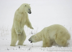 polar-bear-985-cape-churchill-copyright-photographers-on-safari-com