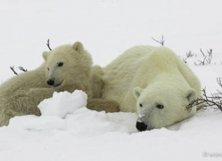 polar-bear-988-cape-churchill-copyright-photographers-on-safari-com