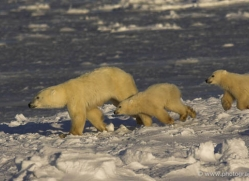 polar-bear-989-cape-churchill-copyright-photographers-on-safari-com