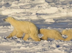 polar-bear-990-cape-churchill-copyright-photographers-on-safari-com