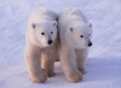 polar-bear-991-cape-churchill-copyright-photographers-on-safari-com