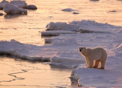 polar-bear-992-cape-churchill-copyright-photographers-on-safari-com