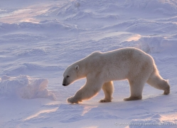 polar-bear-993-cape-churchill-copyright-photographers-on-safari-com